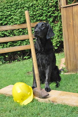 CSC_0957 (Flat Coated Retriever in Berlin) Tags: zeuthen 20011 clicker halten