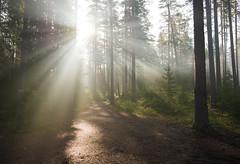 Nice light (denisgorobets) Tags: wood forest pine outdoor nature mist haze fog sunrise sun summer