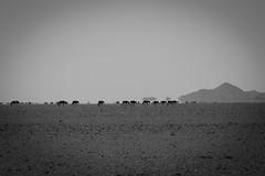 horses in mongolia (tobiasbegemann) Tags: dry empty horses desert bw black white tobias begemann saarbrcken germany world street landscape people animal travel nature photography creative commons flickr animals