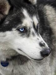 Frank (eserehtM) Tags: frank blueeyes husky dog workingdog sledding antarctica hobartantarcticfestival hobart