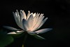 In the spotlight (Irina1010 - out) Tags: waterlily flower white lightshadows pond gibbsgardens nature canon ngc npc