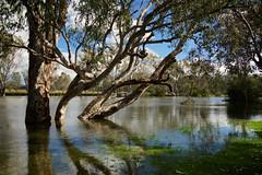The Murray in flood (D-GaP Photos) Tags: water river spill flood dgap