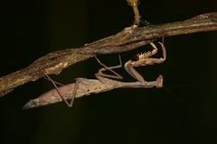 Praying Mantis (exact species not yet found) (piazzi1969) Tags: insects gottesanbeter prayingmantis mantidae wildlife angola kumbira gabela ef100400mm canon eos 5d markiii macro makro