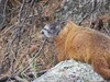 A yellow-bellied marmot on the Memorial grounds (JJP in CRW) Tags: mountrushmore southdakota wildlife marmots rodents