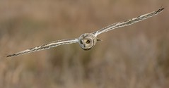 Short-eared Owl (KHR Images) Tags: shortearedowl seo short eared owl asioflammeus wild bird inflight flying birdofprey hunting fendraytonlakes rspb cambridgeshire nikon d7100 wildlife nature kevinrobson khrimages