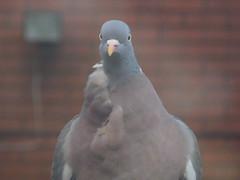 That Look (claireartistpoet) Tags: that look beak pigeon