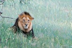 Black Maned Lion (fascinationwildlife) Tags: animal mammal wild wildlife lion lwe black maned predator nature natur national park kgalagadi kalahari grass resting male dominant pride nossob transfrontier south africa sdafrika