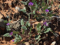 Texas storksbill, Erodium texanum (Jim Morefield) Tags: moapavalley nevada unitedstates us geraniaceae geraniumfamily erodium erodiumtexanum wfgna flora wildflower wildflowers angiosperm dicot plant flowers flower blossom bloom texasstorksbill annuals annual desert clarkcounty northmuddymountains loganwash winter mojavedesert redrock olympus evolt e510 olympuse510 jdm20160233 taxonomy:family=geraniaceae taxonomy:genus=erodium taxonomy:binomial=erodiumtexanum taxonomy:common=texasstorksbill geo:alt=525m pink purple 5petals roundcluster