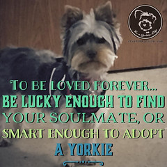 Click LOVE if you are doubly blessed (itsayorkielife) Tags: yorkiememe yorkie yorkshireterrier quote