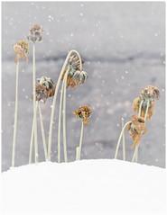 (Tracy Metz) Tags: flower snow outdoors dead orange canon winter autumn