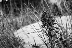 WWF-Dune del Forte dei Marmi (Renato Pizzutti) Tags: toscana fortedeimarmi dune wwf fiore nikond750 renatopizzutti