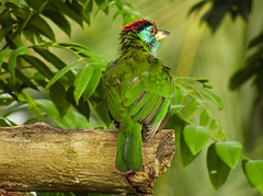 selectSAM_5908 (mashrafis) Tags: bluethroatedbarbet nil gola boshonto bauri bird birds bangladesh pakhi