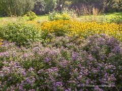 Clyne Gardens 2016 09 30 #12 (Gareth Lovering Photography 3,000,594 views.) Tags: clyne gardens botanical swansea wales flowers trees shrubs park olympus stylus1s garethloveringphotography