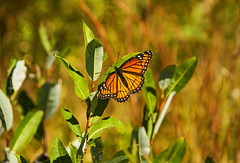 Viceroy Butterfly (Matt Champlin) Tags: viceroy viceroybutterfly notamonarch monarch butterfly mimicry wildlife insect walking hiking nature landscape outdoors canon 2016 wma threeriverswildlifemanagementarea 3riverswma