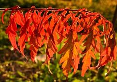 Autumn flag (Zsofia Nagy) Tags: flickrlounge saturdaytheme leaves leaf plant bush autumn green orange d3100 depthoffield dof bokeh backlight pattern tree bright