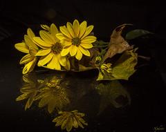 (nadiaorioliphoto) Tags: topinambur yellow flowers reflections blackglass stillife sfondonero interni fiori