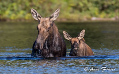 Say cheese!!! (Anne Marie Fraser) Tags: outdoor animal moose wildlife nature pond water wild