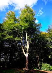Shadows and Light 1 (JodBart) Tags: woodlandtrust billinge wigan trees green shadows light fuji manuallens