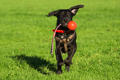 Leroy Fetch! (Mike House Photography) Tags: dog labradoodle labrador poodle puppy animal mammal grass fetch green toy ball rope run running chase