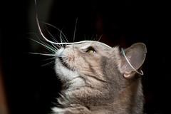(lisrezoly) Tags:  cat graycat mustache
