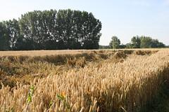 10-IMG_9014 (hemingwayfoto) Tags: ernteschaden frwetteralbum feld futterpflanze gesund getreide landwirtschaft lebensmittel mehl nahrung nutzpflanze ssgras sommer versicherung wetter