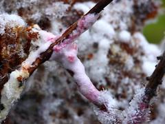 Punakas leniidik (Hypomyces rosellus). (Imbi Vahuri) Tags: imbivahuri fungi seened ascomycota kottseened hypocreaceae helekottseenelised hypomyces leniidik