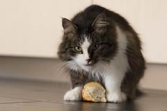 do not touch my bread (husiphoto) Tags: eat cat katze brot bread essen tier animal defend schtzen gestohlen stolen