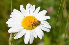 Macro Monday - Edge (danalcreek) Tags: flower yellow white green daisy wildflower insect beetle black orange nature plant macro monday