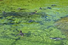 Swimming! (Bebopgirl1969) Tags: penguin swimming water edinburghzoo