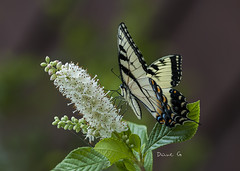 Swallowtail (Diane G. Zooms---Mostly Off) Tags: swallowtail easternswallowtailbutterfly butterflyphotos dianegiurcophotography naturephotos coth coth5