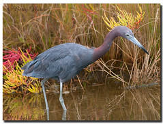 Little Blue Heron (Betty Vlasiu) Tags: little blue heron egretta caerulea bird nature wildlife chincoteague island