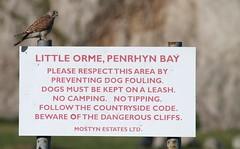 Sitting pretty (ashperkins) Tags: signsunday sign kestrel raptor birdofprey female ashperkins littleorme penrhynbay northwales eos7d ef100400mmf4556lisusm