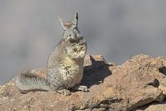 Vizcacha comn (Cristin Tapia Espinoza) Tags: vizcacha chile farellones fauna reflex wildlifephotography wildlife cordillera photography santiago fotografa mamiferos naturaleza canon