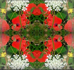 2016-10-12 symetrical poppies 3 (april-mo) Tags: symmetrical symmetry poppies coquelicots wildflowers redpoppy redflower