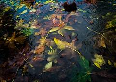 Summer Submerged (Katrina Wright) Tags: img8689 iphone6 leaves autumn fall puddle rain heavyrain submerged