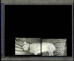 Doggie diptych (blue439) Tags: dog terrier diptych polaroid fuji fp3000b nikon fm3a littledoglaughednoiret
