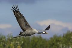 Gru ceneria o gru euroasiatica - (grus grus) - crane... (Silvio Sola) Tags: gru grus crane volo uccello bird eleganza