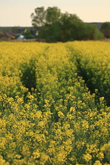 Repce / Rapeseed / Brassica napus (bencze82) Tags: canon eos 700d voigtlnder apolanthar 90mm f35 slii repce rapeseed brassica napus