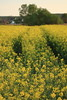 Repce / Rapeseed / Brassica napus (bencze82) Tags: canon eos 700d voigtländer apolanthar 90mm f35 slii repce rapeseed brassica napus