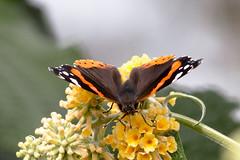 Red AdmiraL Butterfly (Vansa atalanta) (wells117) Tags: 700d bug butterfly canon clivewells flower garden insect kingslynn norfolk pollen redadmiral vanessaatalanta wings red admiral buddleia plant kings lynn home