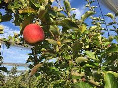 Pomme - Cueillette de La Grange  Coubert (77) (stefff13) Tags: cueillette ferme grange pomme lgume fruit coubert