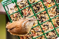IMG_1811 (HisPhotographs.com) Tags: food bird backyard eating feeder cage tamron carolinawren shallowdof 200500mm canon50d