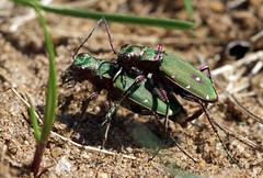Green tiger beetles (Cicindela campestris) (nutmeg66) Tags: may lincolnshire beetles 2013 greentigerbeetle lincolnshirewildlifetrust kirkbygravelpits kirkbypits
