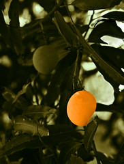 Mango (arfabita) Tags: orange india tree green vertical fruit plante image expression fresh mango tropical hanging mangotree tropics tamilnadu rendered global unripe pondicherry rendition greentint kingoffruit artistist alhonpsolookalike