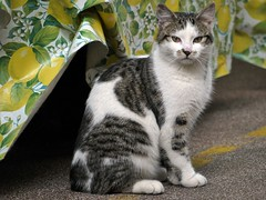 In front of the lemon-door (maramillo) Tags: portrait london cat lemons meow gatto kedi bigmomma unanimous qattus thechallengefactory pregamewinner