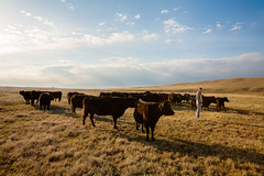 Head of the Herd (www.toddklassy.com) Tags: ranch morning light brown sunlight man male industry field grass animal horizontal clouds rural america standing landscape outdoors photography one countryside scenery cowboy montana mt looking cattle cows head farm startled beef country large dramatic bluesky story pasture havre production prairie copyspace agriculture sideview attention staring livestock curiosity herd bovine leading branding alert farmanimals lookingaway ranching supernatural caucasian greatplains blackangus herding doctordolittle hillcounty groupofanimals colorimage ruralscene nonurbanscene domesticcattle horizonoverland animalsandpets verploegen cowsinafield montanaphotography toddklassy