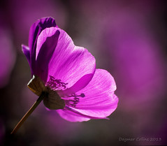 Cistanthe grandiflora (Calandrinia) (-Dagmar-) Tags: flowers closeup sanluisobispo backlighting slobotanicgarden