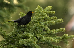 Blackbird (Roger-K10D(mostly off)) Tags: trees snow green nature birds animals pentax bokeh 300mm blackbird aficionados levanger svarttrost pentaxart