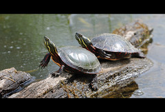 Painted Turtles (poocher7) Tags: ontario nature water spring pond log buddies turtles resting stjacobs claws hangingout sunning longfingernails paintedturtles