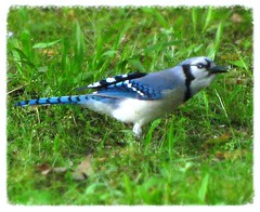 Blue Jay discovers backyard (Rosa Blue) Tags: nature birds outdoors flickr northcarolina bluejay